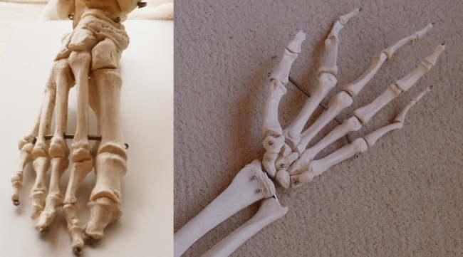 手と足の骨の数