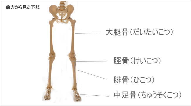 前方から見た腓骨