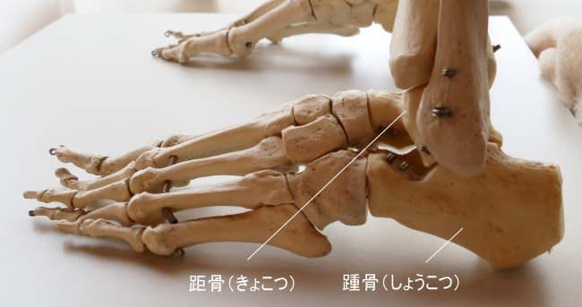 踵骨と距骨も短骨です。