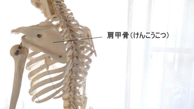 骨の種類・扁平骨