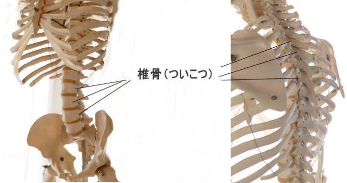 骨の種類・不規則形骨