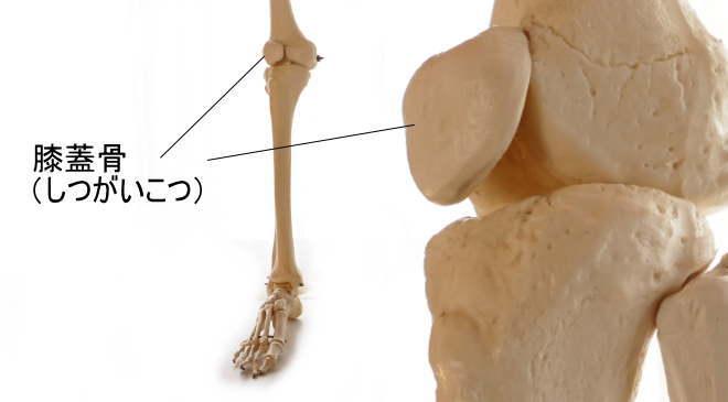 骨の種類・種子骨