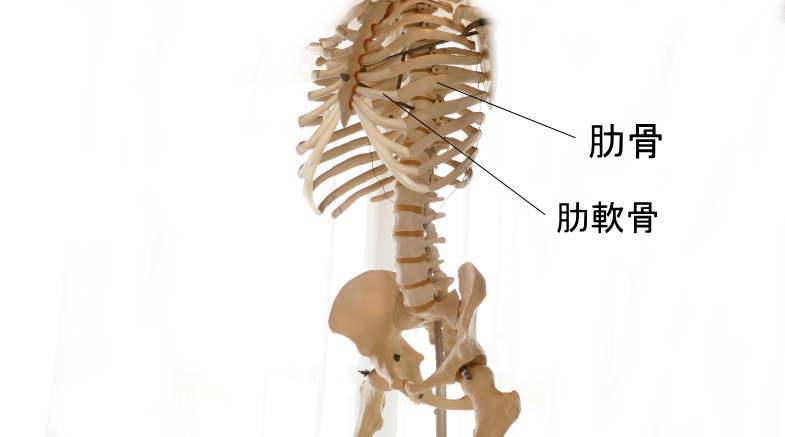 肋骨の半関節