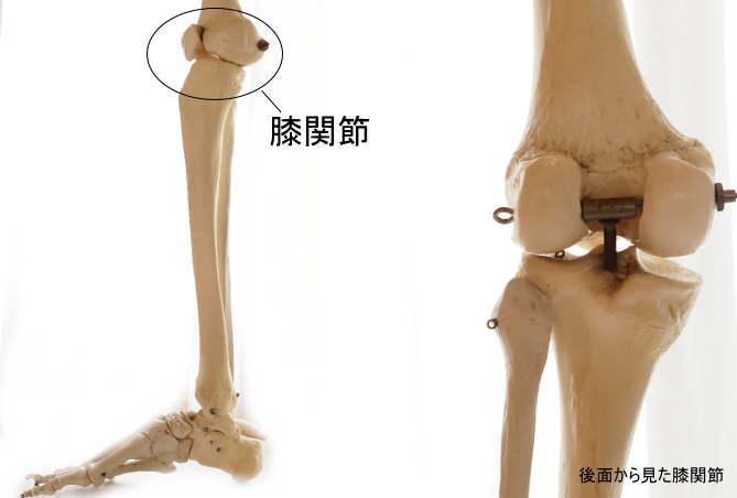 大腿骨と膝関節