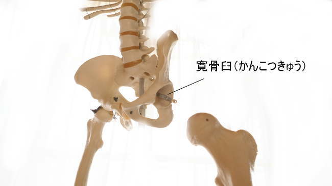 大腿骨と寛骨臼