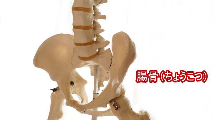 腸骨(ちょうこつ)