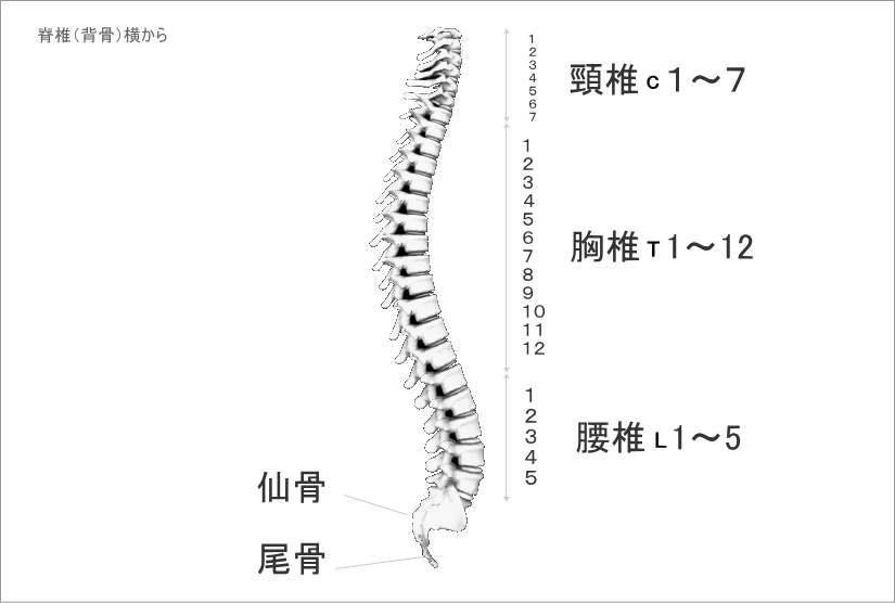 横から見た背骨の生理的湾曲