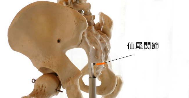 尾てい骨と仙骨が作る関節