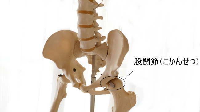 大腿骨と骨盤が作る股関節