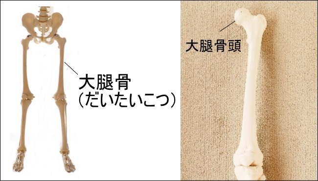 大腿骨(だいたいこつ)