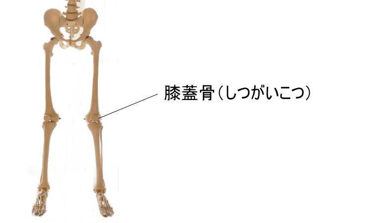 膝蓋骨(しつがいこつ)