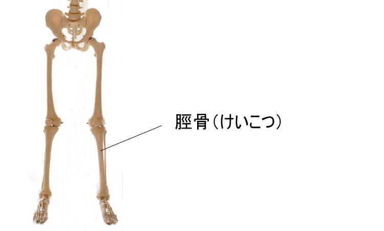 脛骨a.k.a弁慶の泣き所
