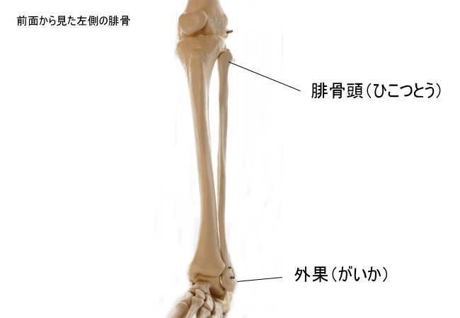 腓骨の各部