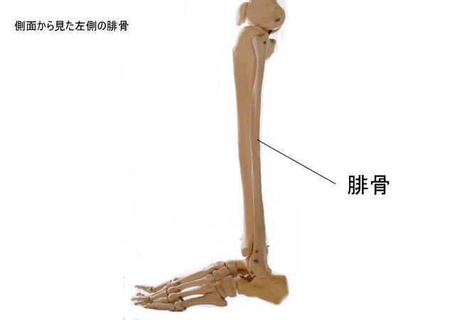 側面から見た腓骨