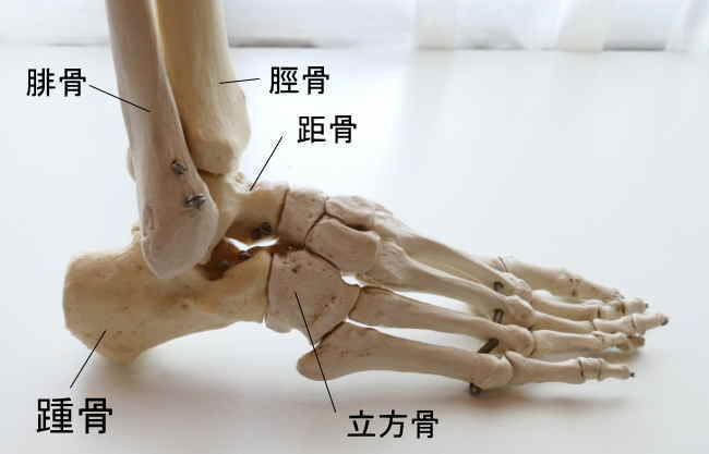 小指側から見た踵骨