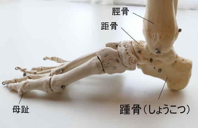 母趾側から見た踵骨
