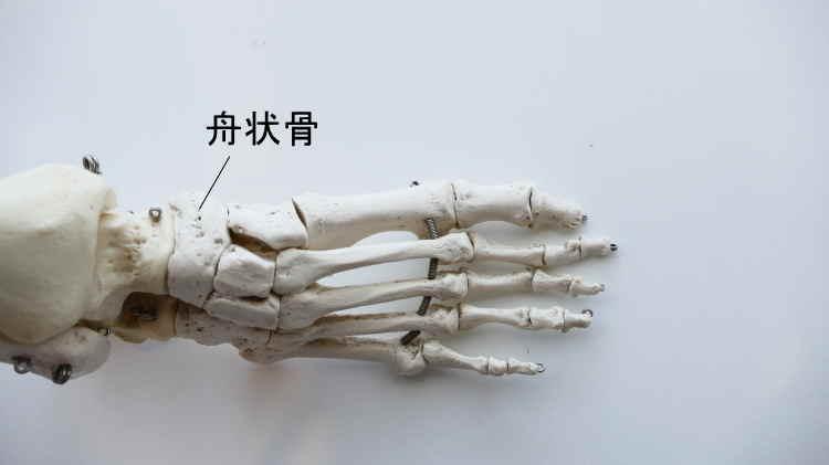 足の舟状骨