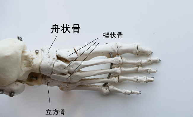足の舟状骨と足根骨の関節