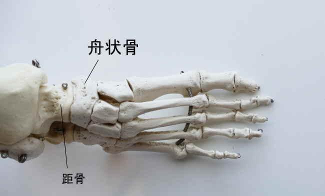 足の舟状骨と距骨の関節