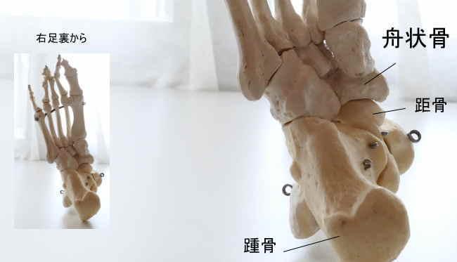 足の舟状骨と距骨
