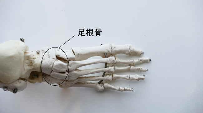 足根骨同士の関節