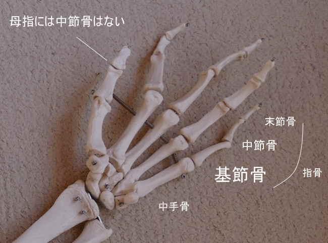 手の基節骨
