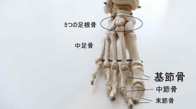 足の基節骨