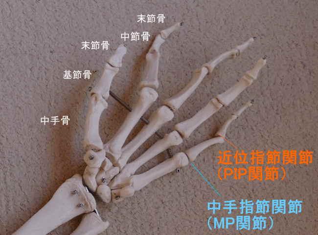 手の基節骨が作る関節