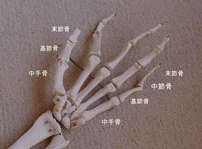 手の中節骨