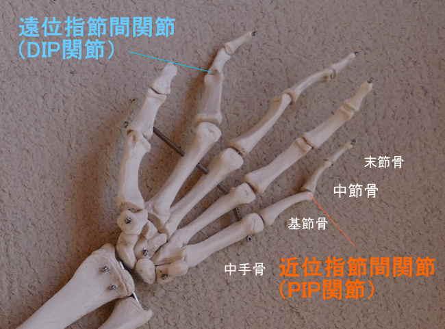 手の中節骨が作る関節