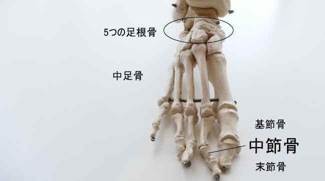 足の中節骨