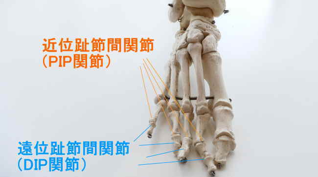 足の中節骨が作る関節