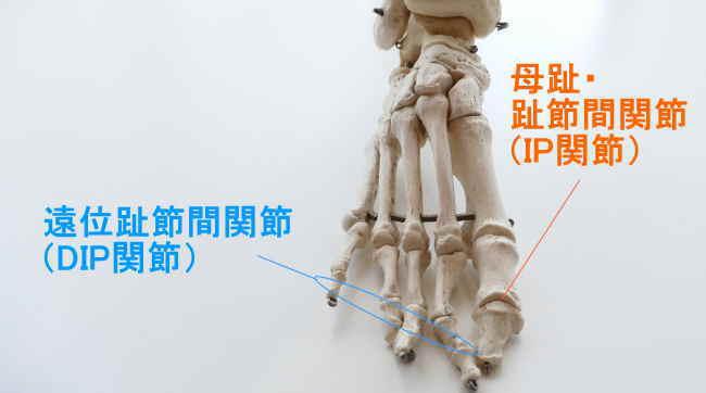 足の末節骨が作る関節
