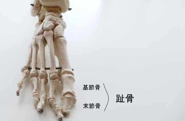 母趾の趾骨