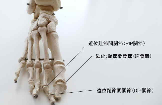 指骨同士の関節