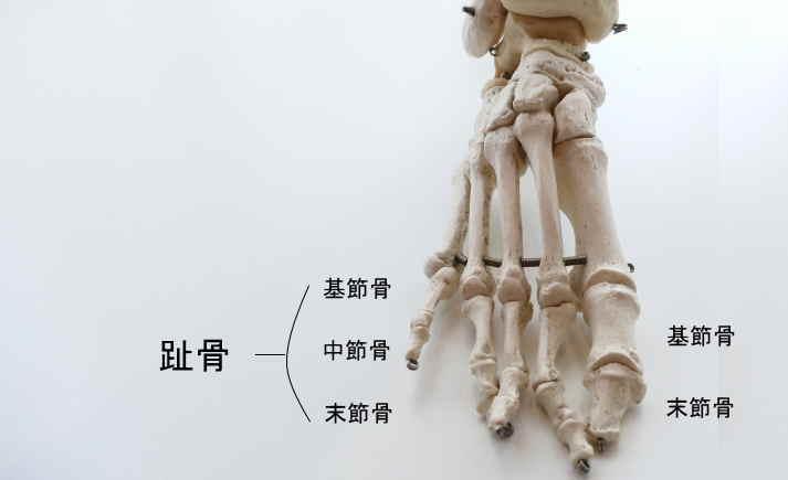 前足部を構成する趾骨