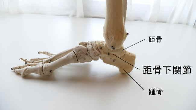 右足内側から見た距骨下関節