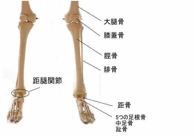 足の骨格と距腿関節