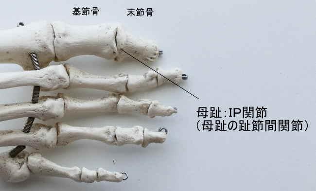 母趾のIP関節