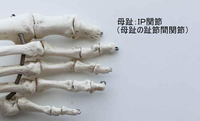 足のIP関節