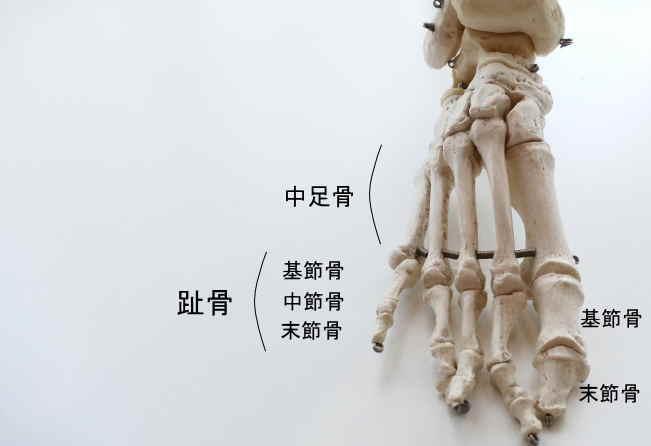 足の指の骨格