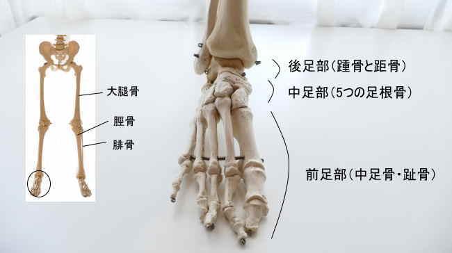 足の骨格と中足部