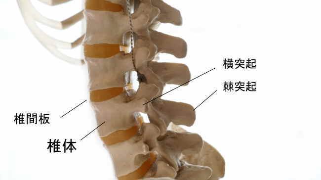 腰椎を構成する椎体