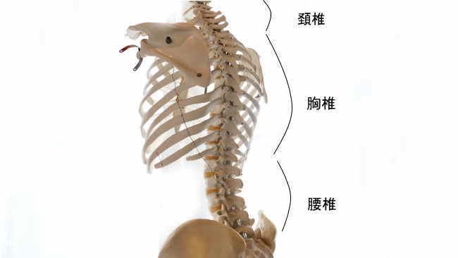 胸郭を構成する胸椎