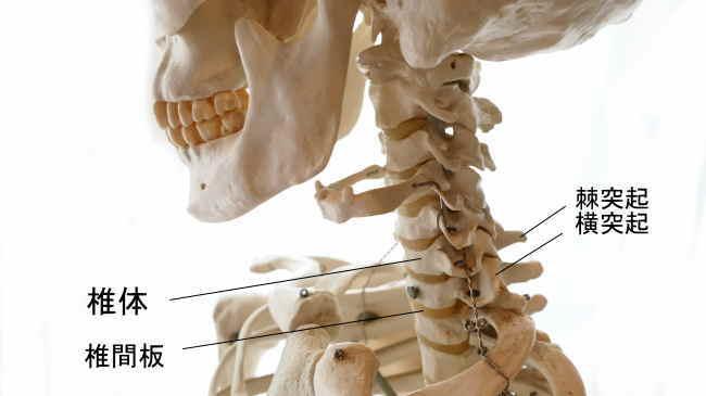頚椎と椎間板