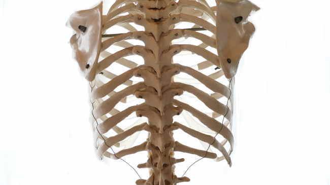 後面から見た肋骨