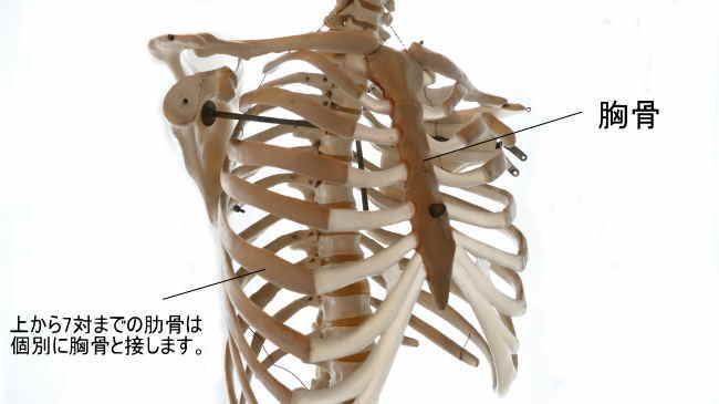 上部7対の肋骨