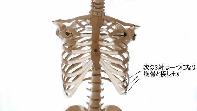 3対の肋骨