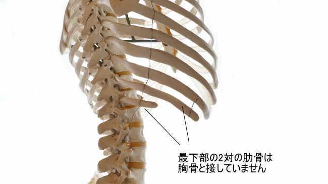 最下部の2対の肋骨