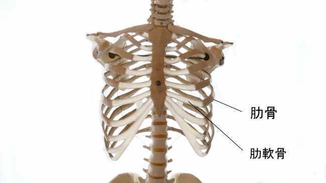 内腹斜筋の停止部